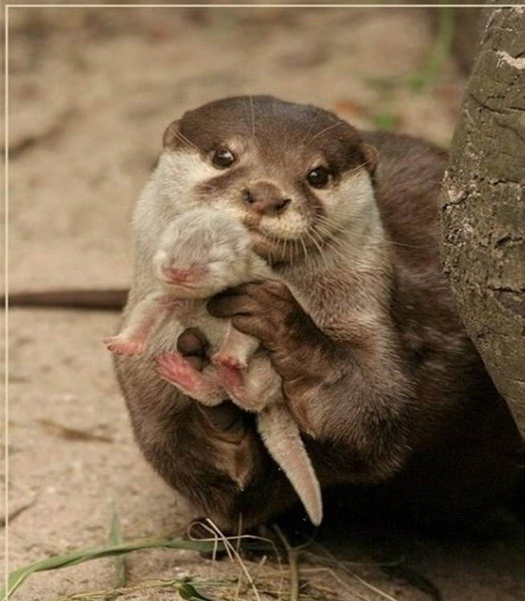babies animal their parents weasel swan