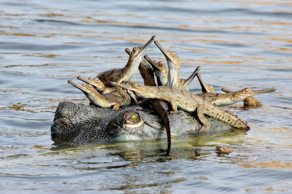 """Mother's little headful"". Fourteen-year-old photographer Udayan Rao Pawar has also been recognised as Young Wildlife Photographer of the Year 2013 for his image Mother's little headful. This presents an arresting scene of gharial crocodiles on the banks of the Chambal River in Madhya Pradesh, India, an area increasingly under threat from illegal sand mining and fishing. (Photo by Udayan Rao Pawar/Wildlife Photographer of the Year 2013)"