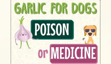 Should Your Dog Be Eating Garlic_ - Infographic GP