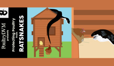 How to Protect Your Poultry from Rat-snakes - Infographic