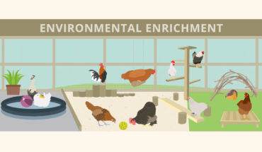 Mimicking a Natural Foraging Environmental for Poultry: How and Why - Infographic